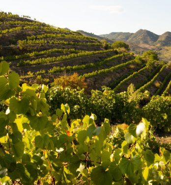 El viñedo del Priorat